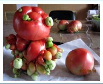 Fukushima: Durch radioaktive Strahlung mutierte Tomate?