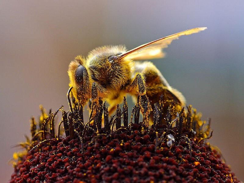 Imker und Umweltschützer rufen zum Verzicht auf bienengefährdende Beizmittel auf