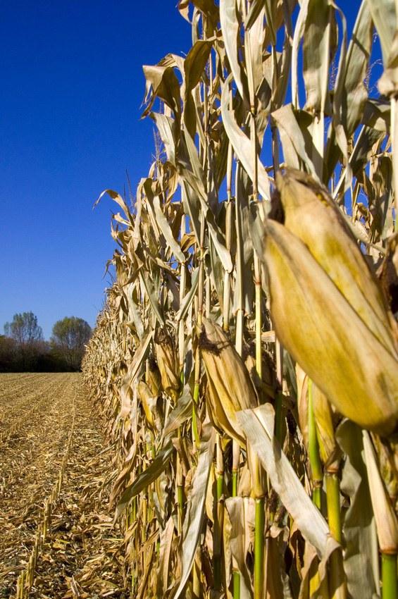 Gen-Mais: Wieder ein Stück Koalitionsvertrag als Heuchelei entlarvt