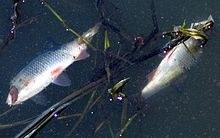 Fischsterben an der Peene