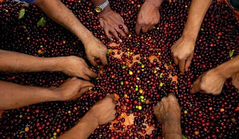 Kaffeebauern trotz steigender Ernten in die Armut gedrückt