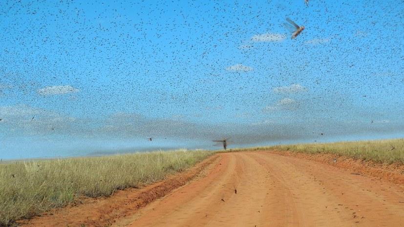Eritreas Weg im Kampf gegen die Heuschreckenplage