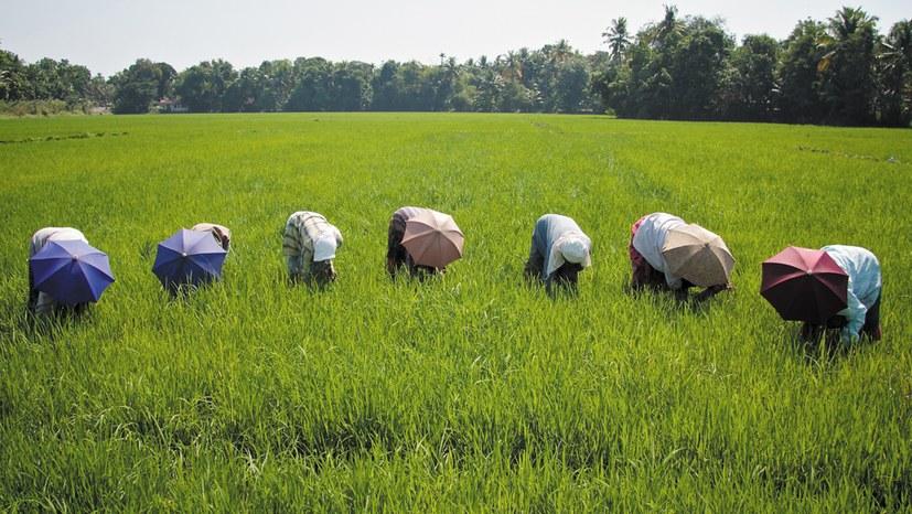 Wertvolle Reissorten – unwiederbringlich vernichtet